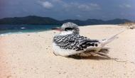 Tropicbirds of Paradise